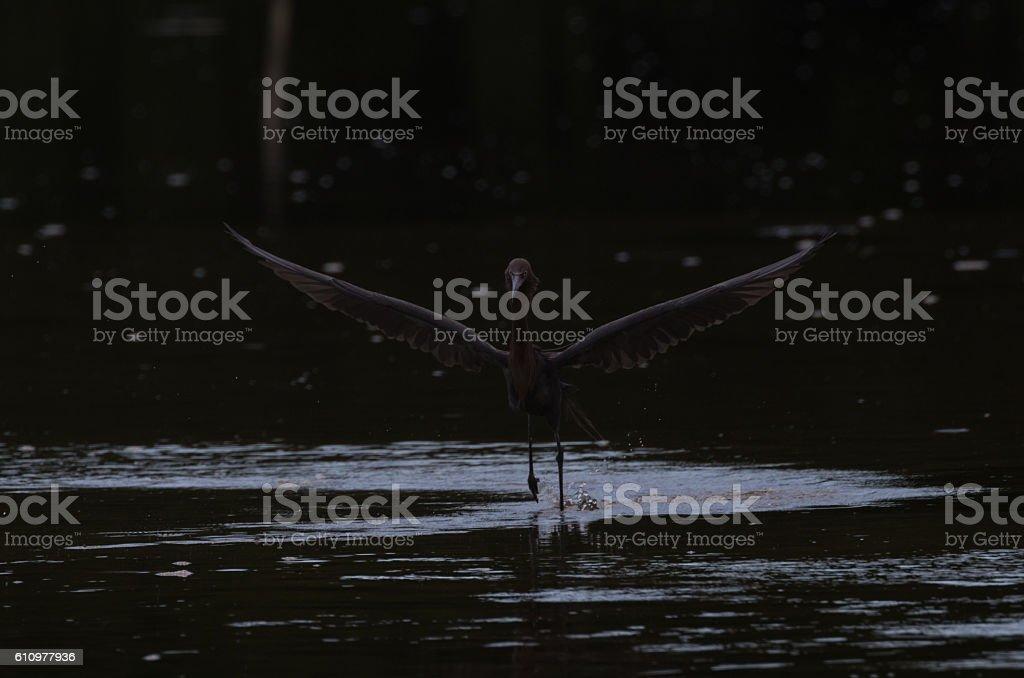 Reddish Egret Running stock photo