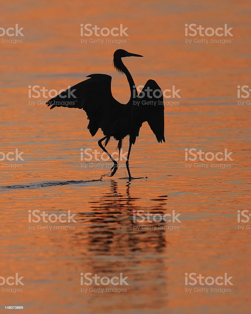 Reddish Egret Silhoeutte with Wings Spread royalty-free stock photo