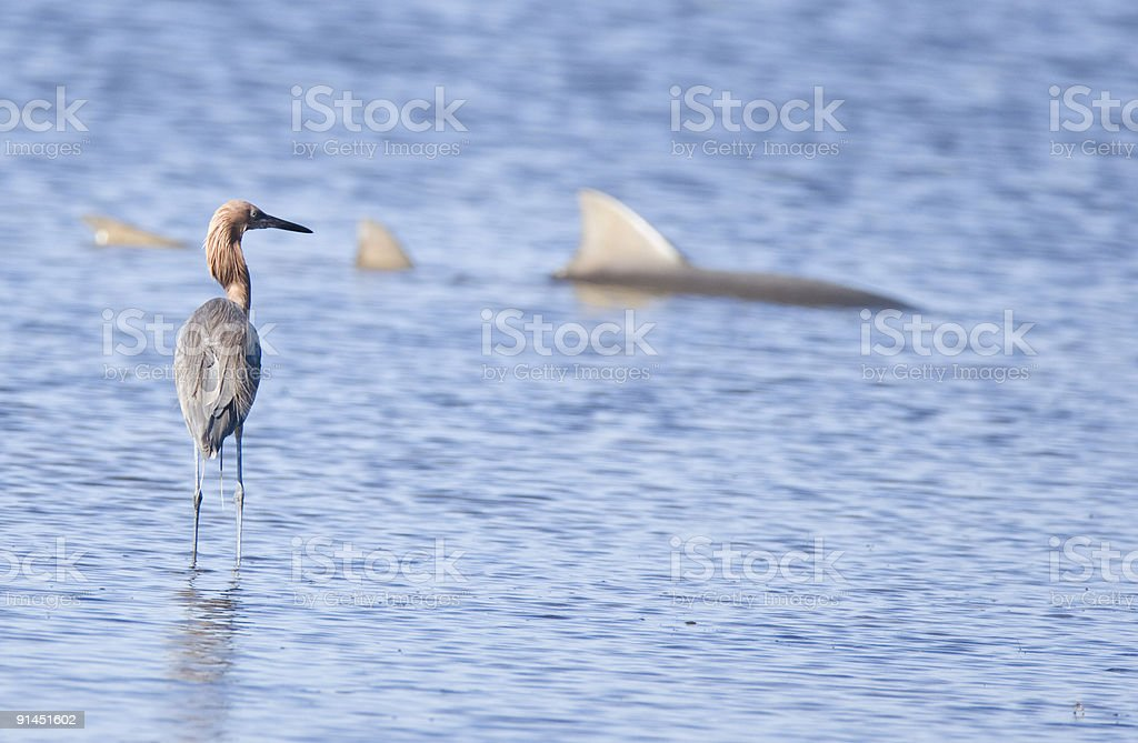 Reddish Egret staring at a Shark stock photo