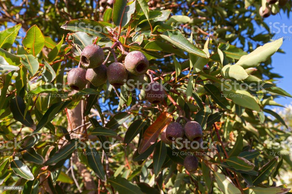Reddish green seed pod, fruit capsules also called gum nut of Eucalyptus gum tree stock photo