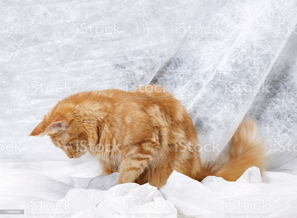 reddish Maine Coon kitten royalty-free stock photo