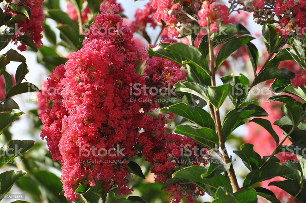 Reddish Pink Crepe Myrtle Blooms on the Roadside stock photo