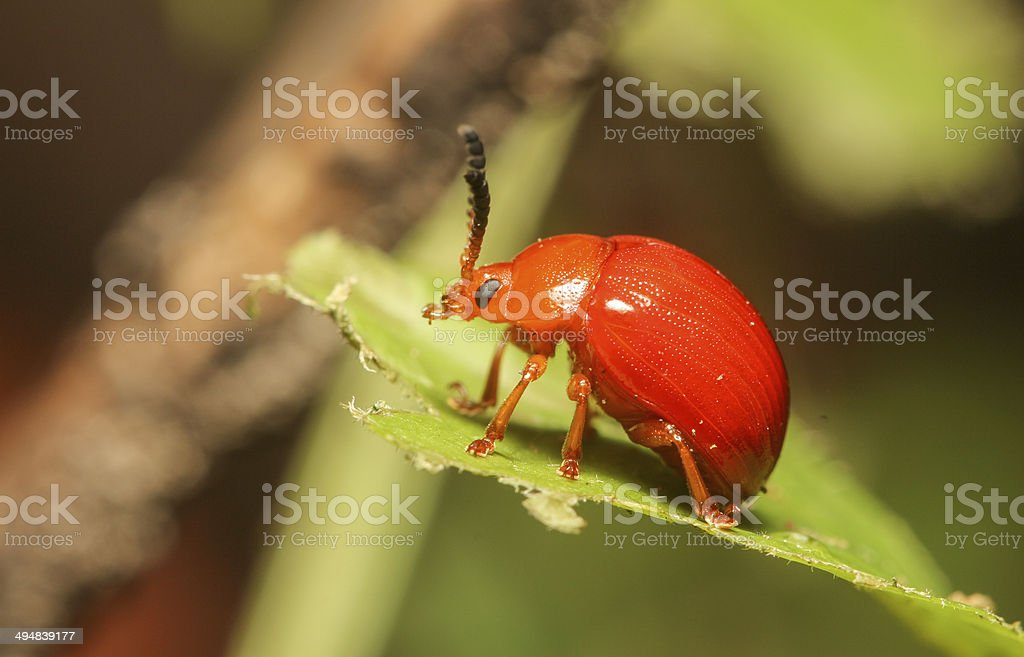 Reddish Potato Beetle stock photo