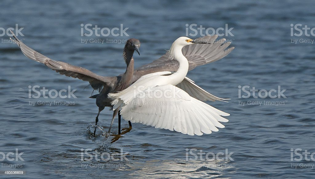 Reddish & Snowy Egrets stock photo