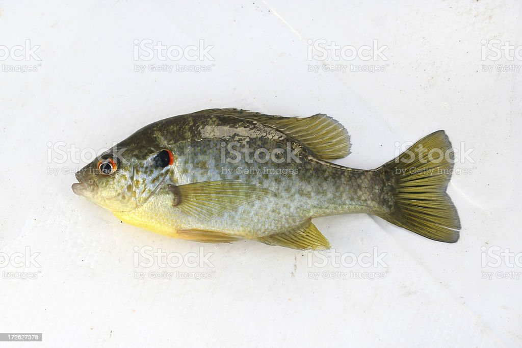 Redear Sunfish royalty-free stock photo