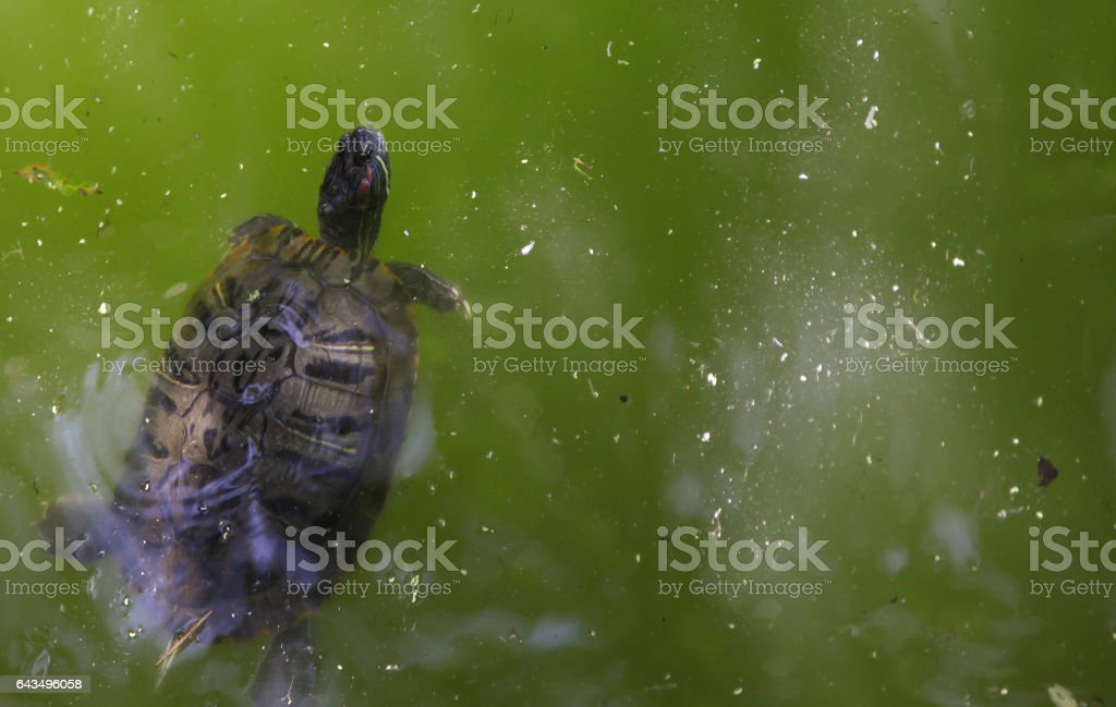 Red-Eared Pond Slider stock photo