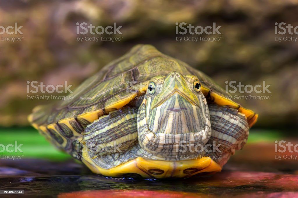 Red-eared slider close-up stock photo