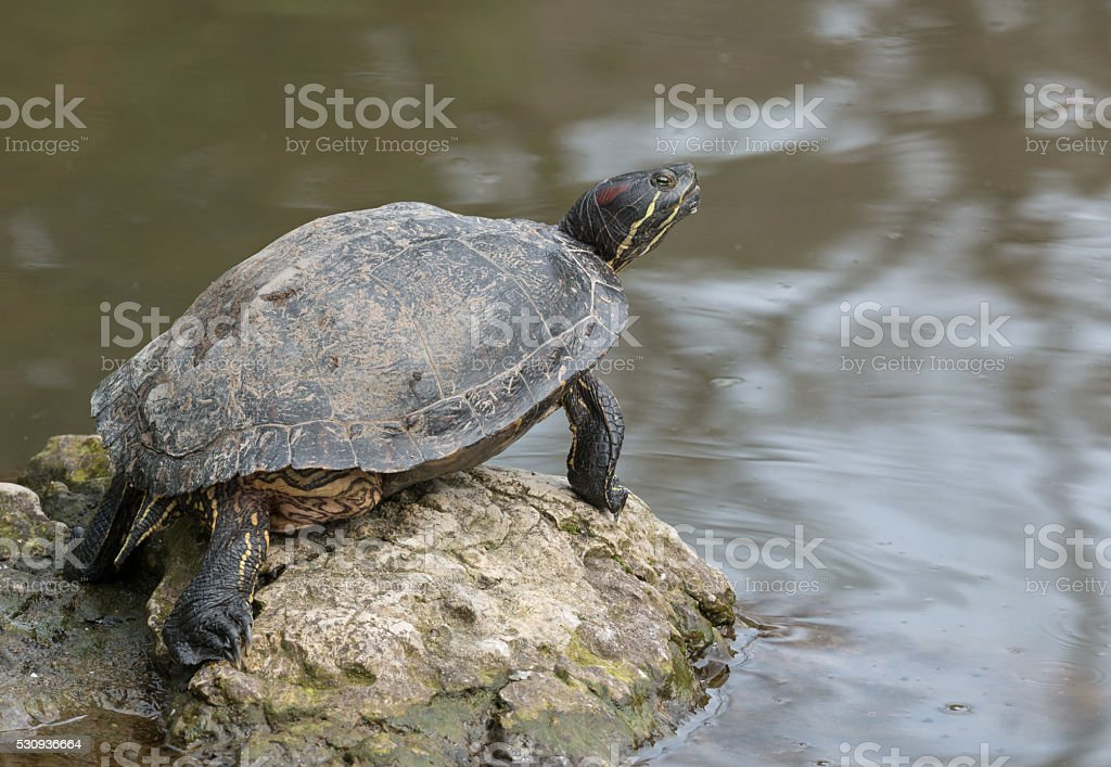 Red-eared slider (Trachemys scripta elegans) stock photo