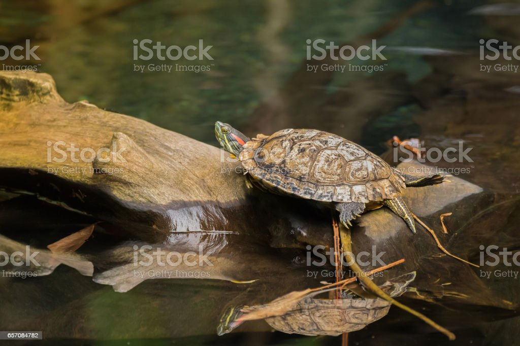 Red-eared slider, red-eared terrapin turtle with red stripe near ears resting on wooden log stock photo
