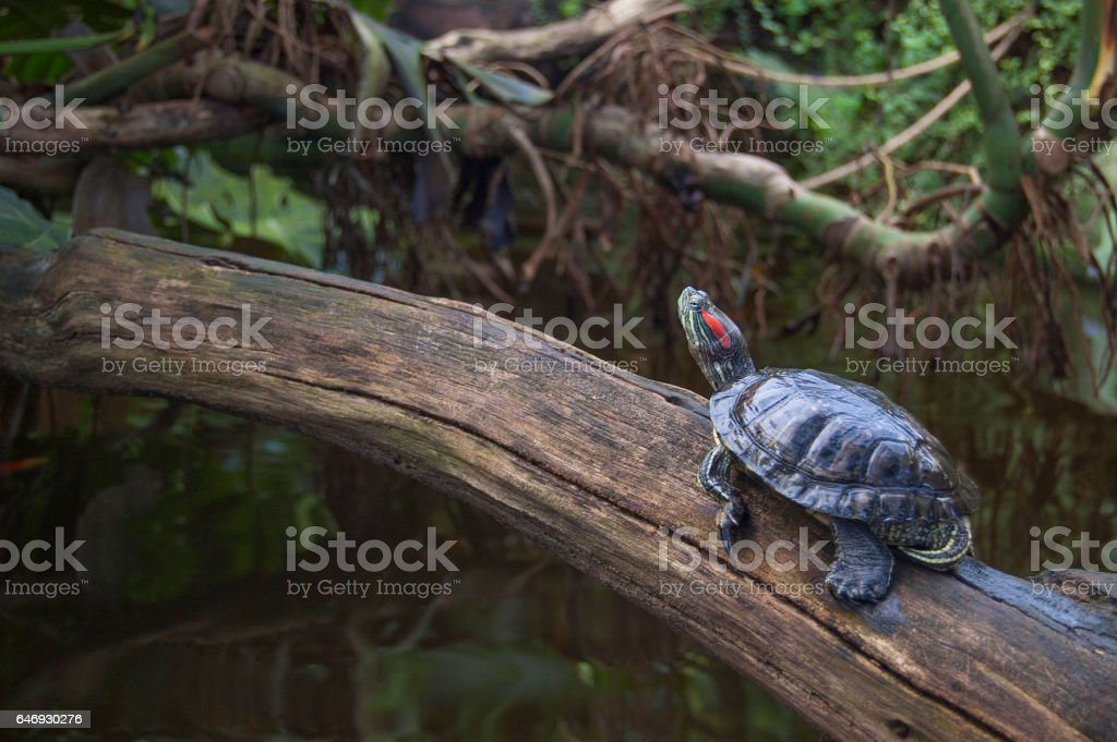 Red-eared slider. The most popular pet turtle in the USA. stock photo