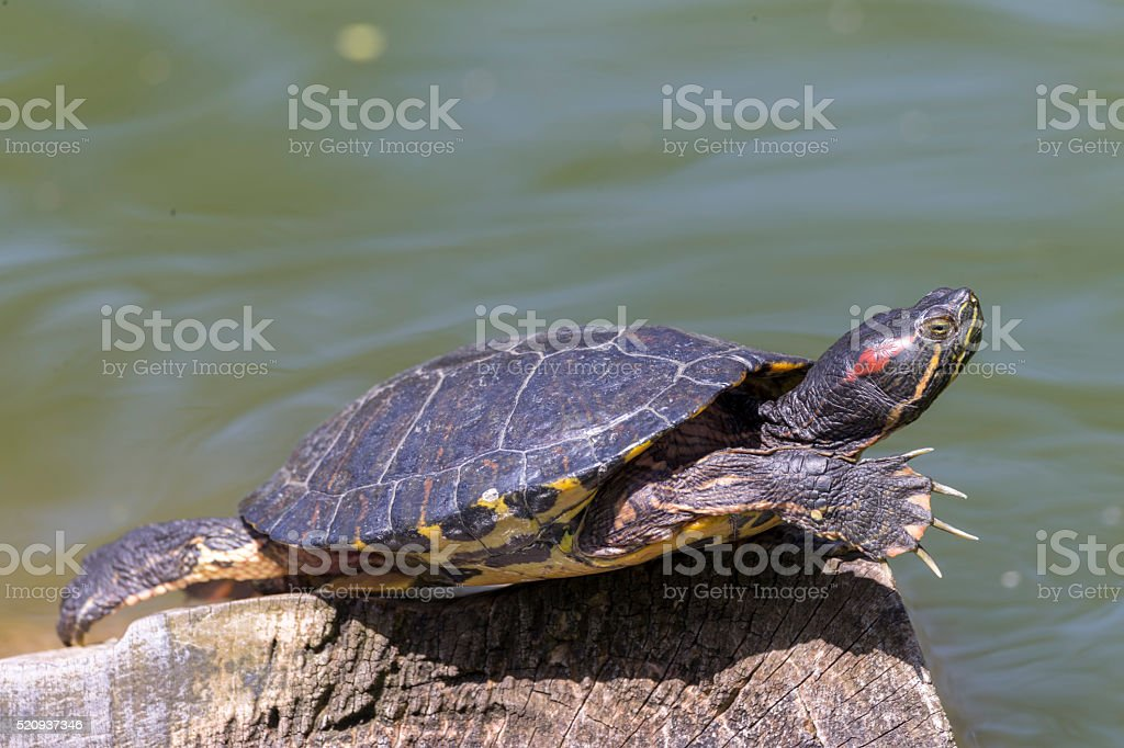 Red-Eared Slider Turtle in Stow Lake of Golden Gate Park stock photo