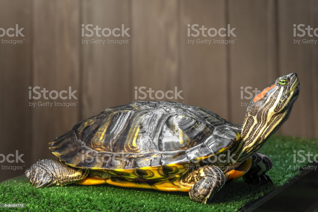 Red-eared slider turtle. stock photo