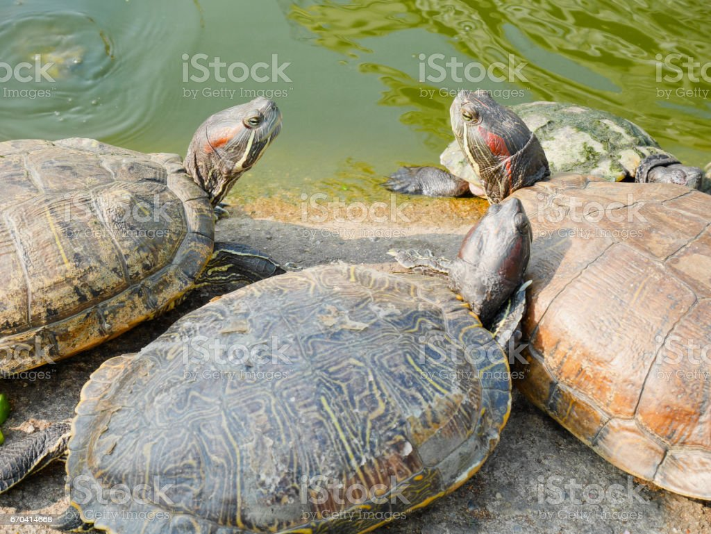 Red-eared slider turtles stock photo