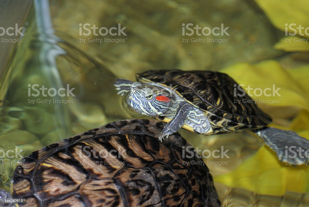 Red-eared turtle royalty-free stock photo