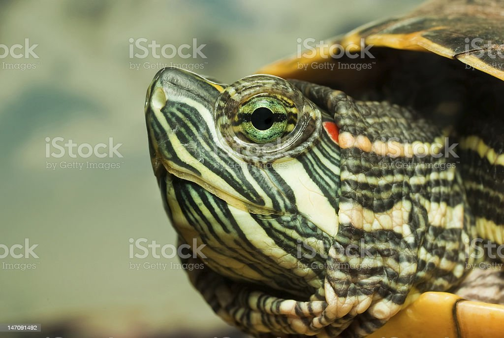 Redeared turtle royalty-free stock photo