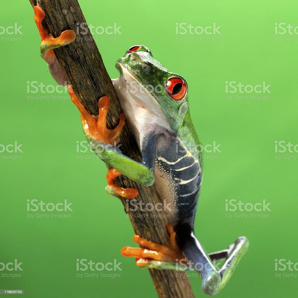Red-eye frog Agalychnis callidryas stock photo