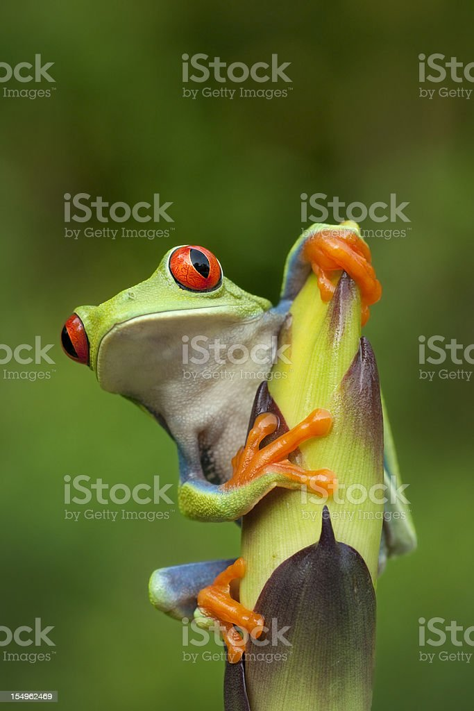Red-eye Tree Frog in Rainforest stock photo