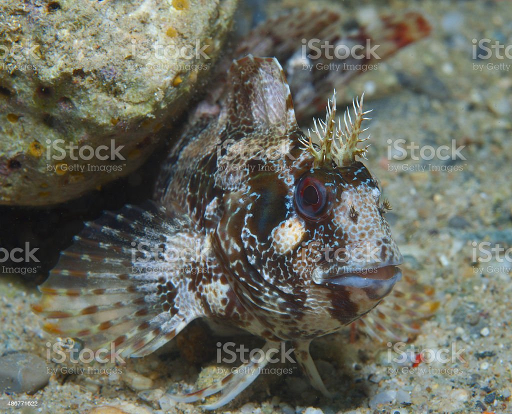 Red-eyed blenny stock photo