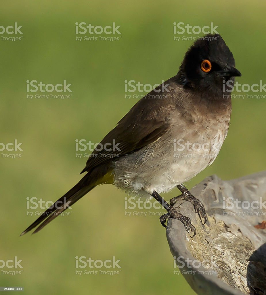 Red-Eyed Bulbul stock photo