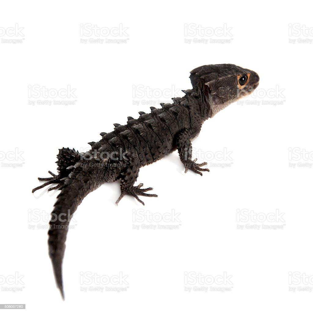 Red-eyed crocodile skinks, tribolonotus gracilis, on white stock photo