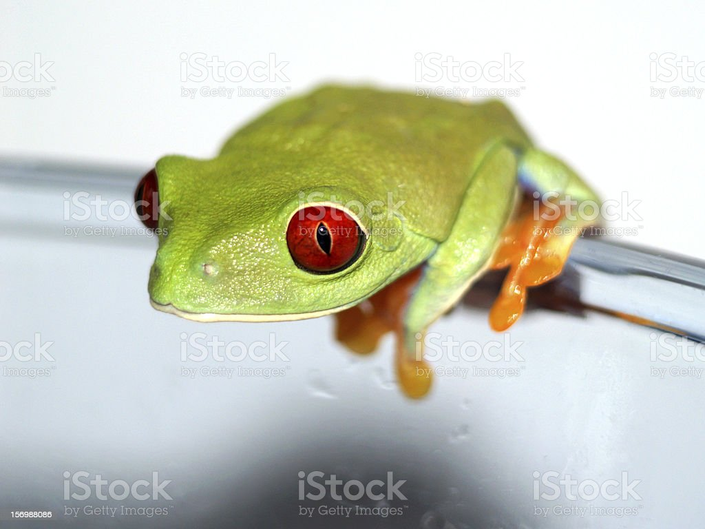 red-eyed tree frog, Agalychnis callidryas royalty-free stock photo