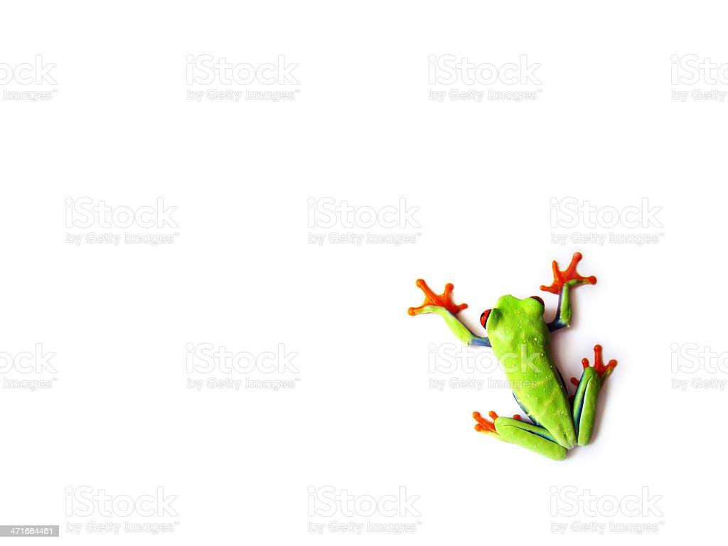 red-eyed tree frog , Agalychnis callidryas stock photo