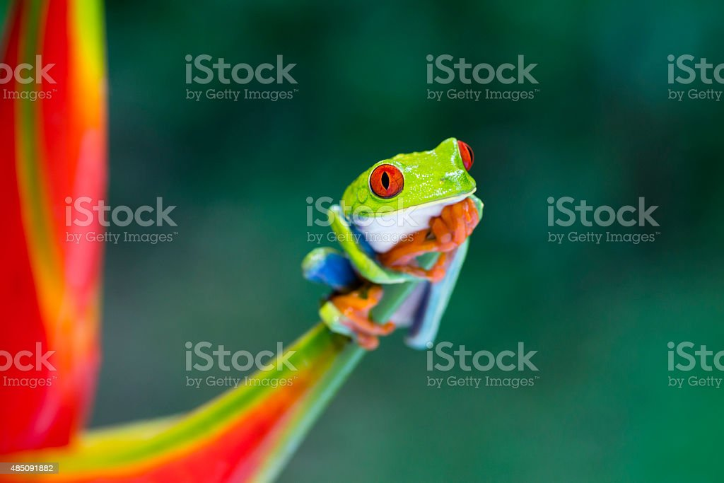 Red-Eyed Tree Frog climbing on heliconia flower, Costa Rica animal royalty-free stock photo