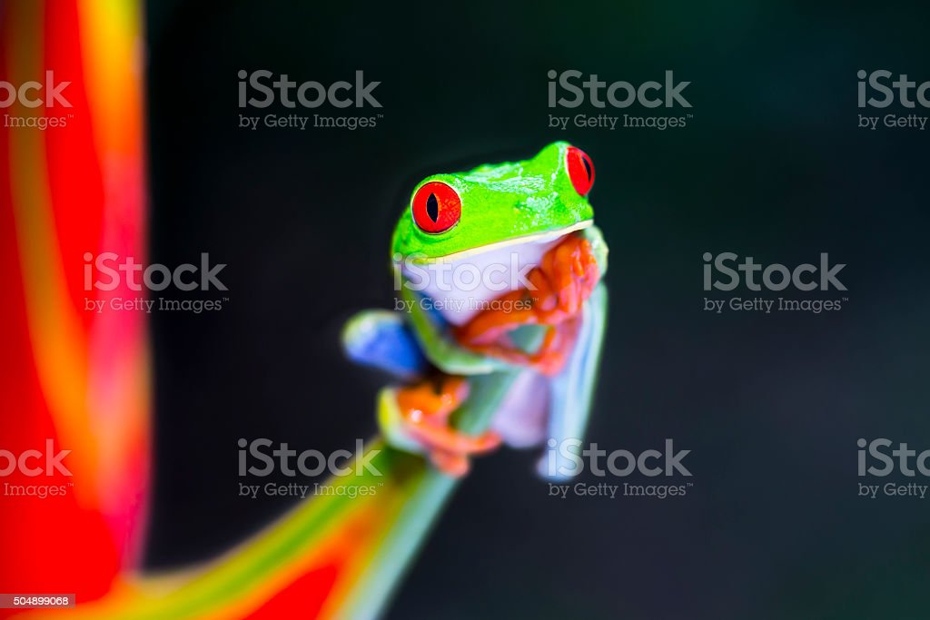 Red-Eyed Tree Frog climbing on heliconia flower, Costa Rica animal stock photo