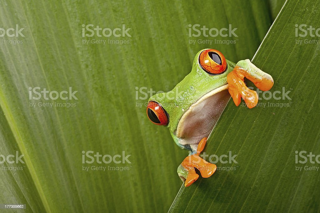 Red-eyed tree frog hiding behind leaves and peeping stock photo