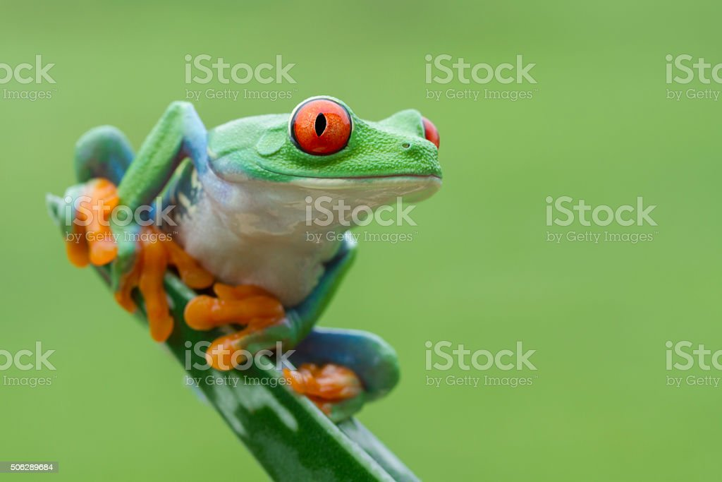 Red-eyed Tree Frog in ready to leap stock photo