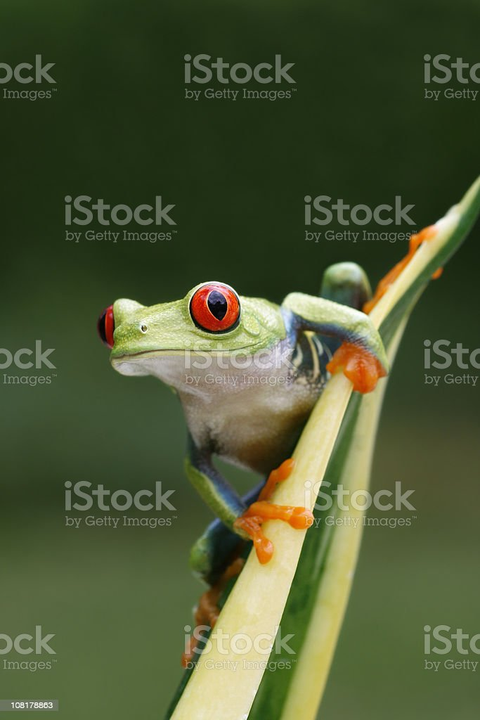 Red-eyed Tree Frog in Spring royalty-free stock photo