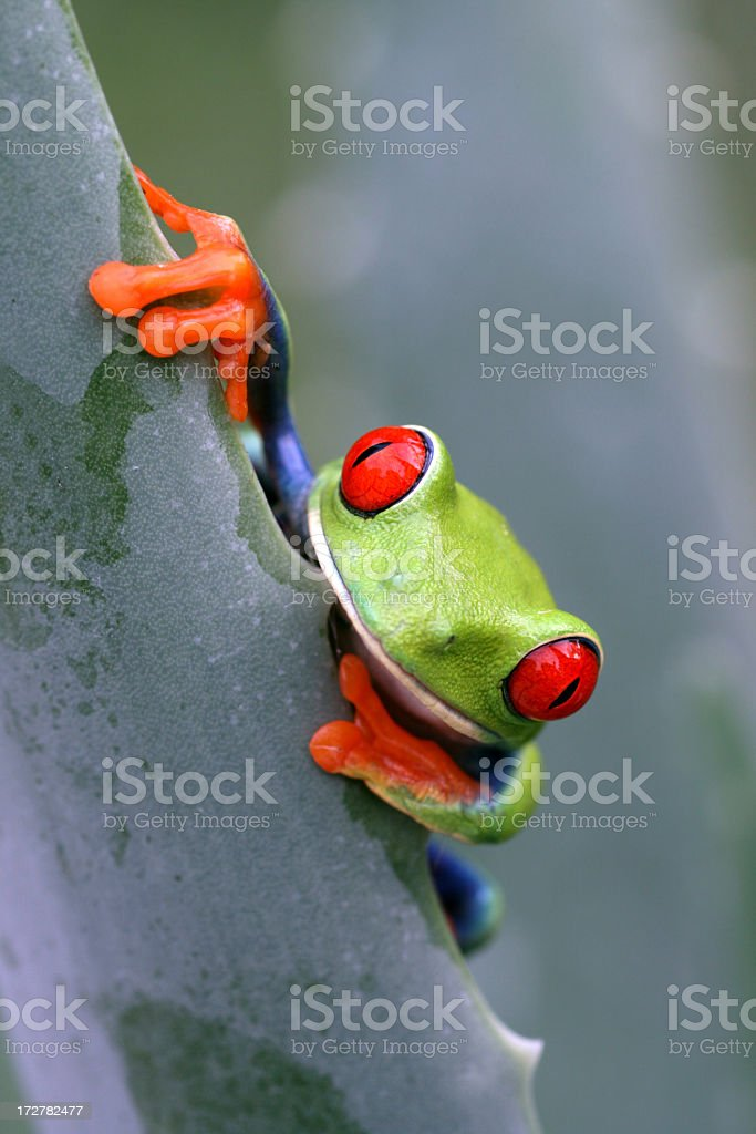 Red-Eyed Tree Frog Looking Over Plant Edge stock photo