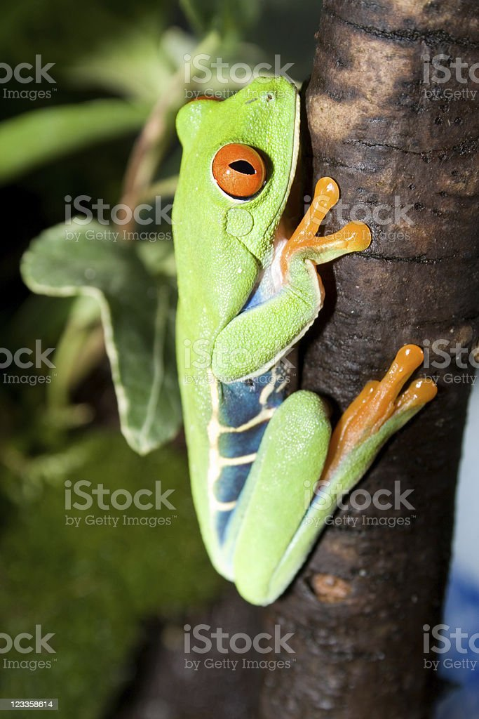 Red-eyed tree frog on a stem royalty-free stock photo