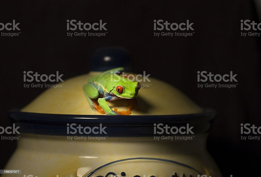 Red-eyed tree frog on Biscotti jar royalty-free stock photo