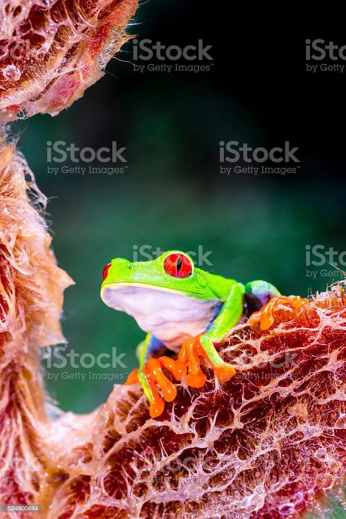 Red-Eyed Tree Frog on heliconia vellerigera flower, Costa Rica animal stock photo