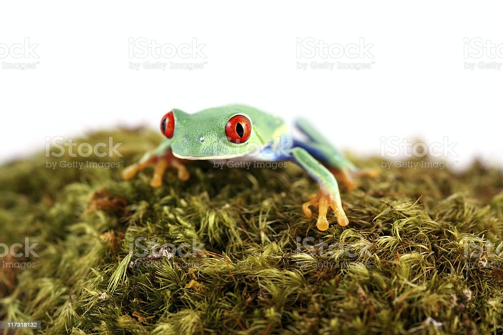 Red-Eyed Tree Frog on moss royalty-free stock photo