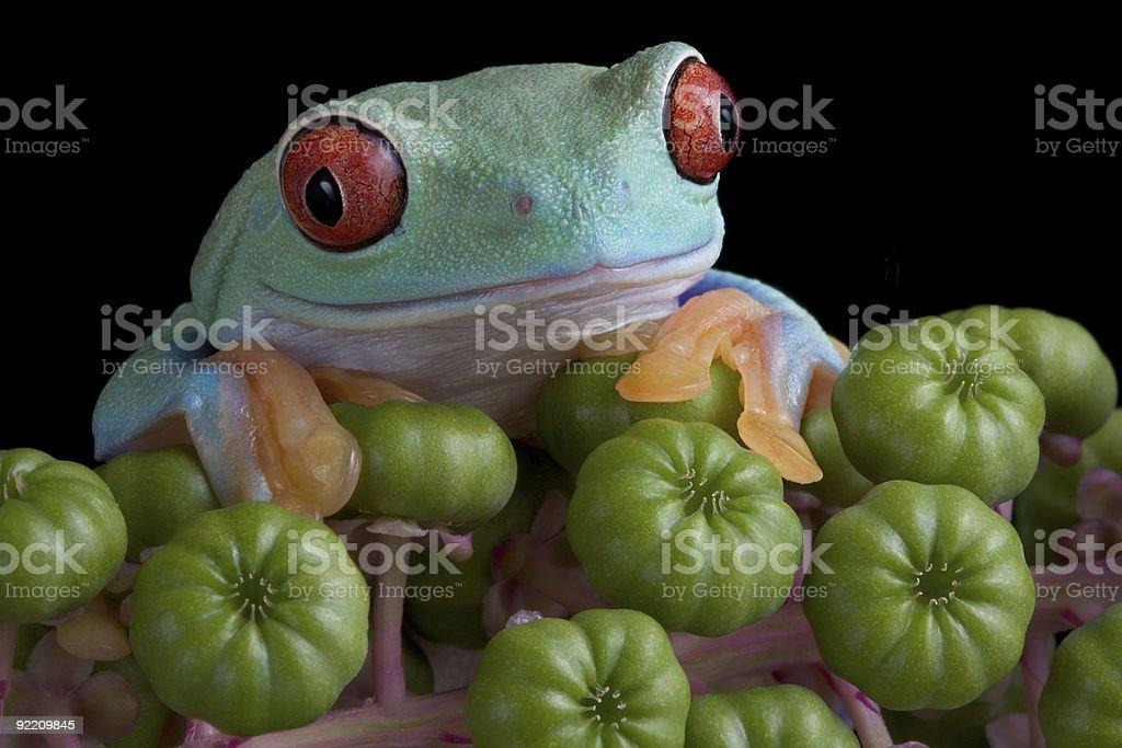 Red-eyed tree frog on poke weed stock photo