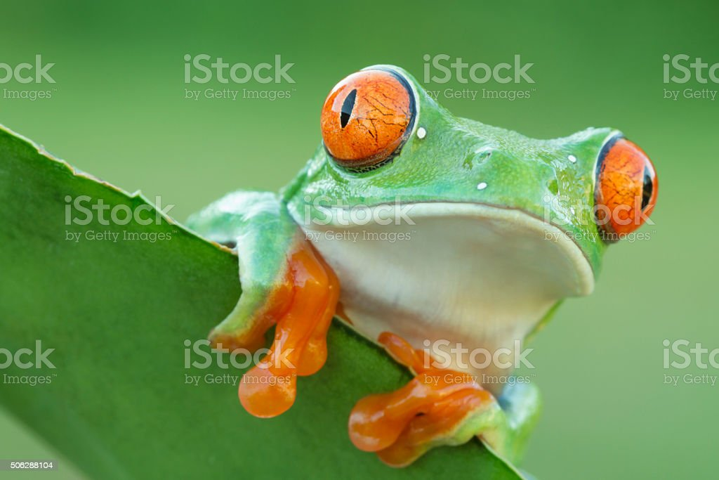 Red-eyed Tree Frog peeping over plant stock photo