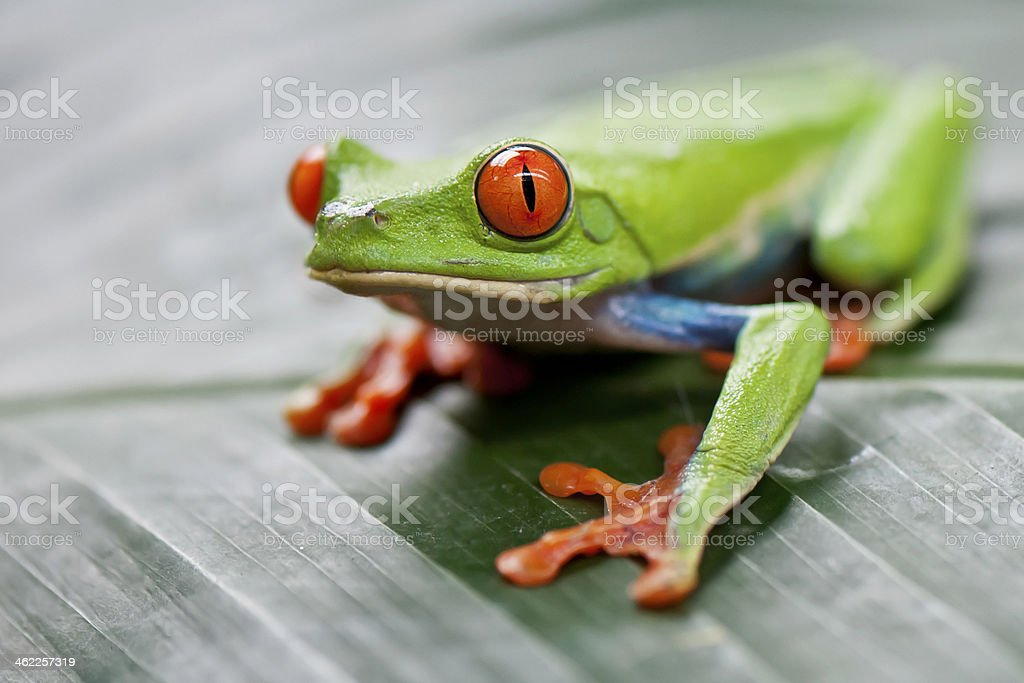 Red-eyed tree frog. stock photo