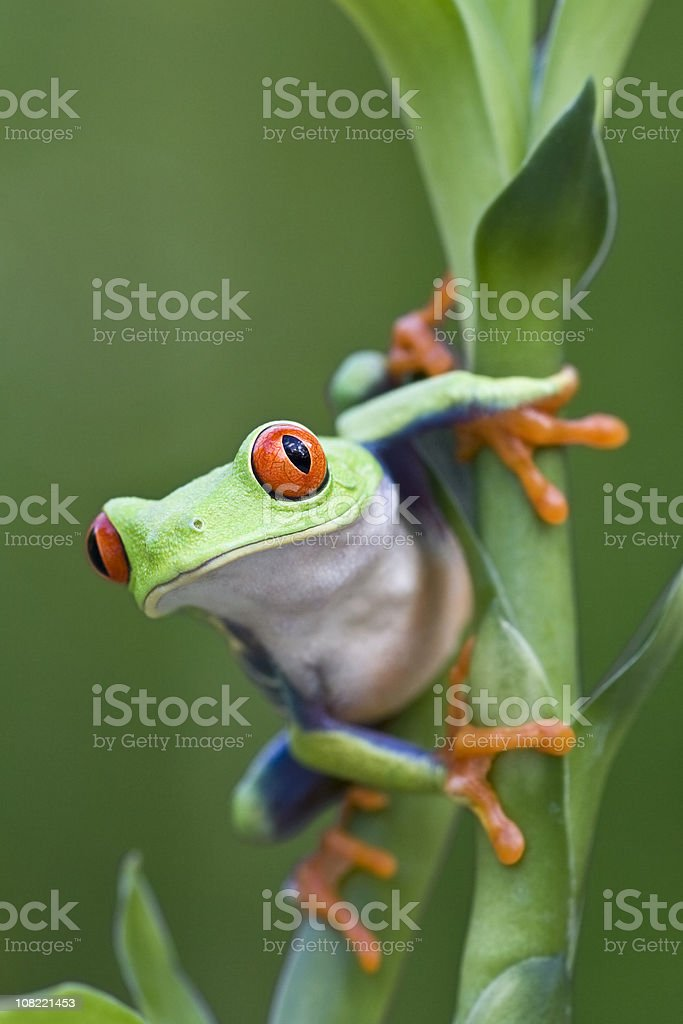 Red-eyed Tree Frog Ready to Leap Off Plant royalty-free stock photo