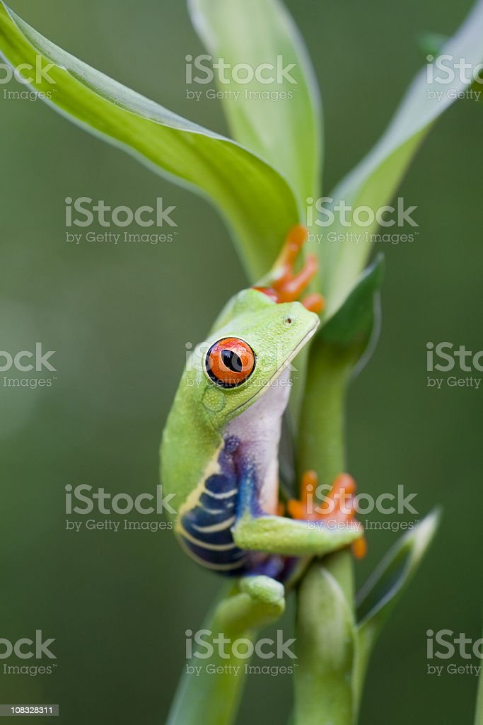Red-eyed Treed Frog on Plant stock photo