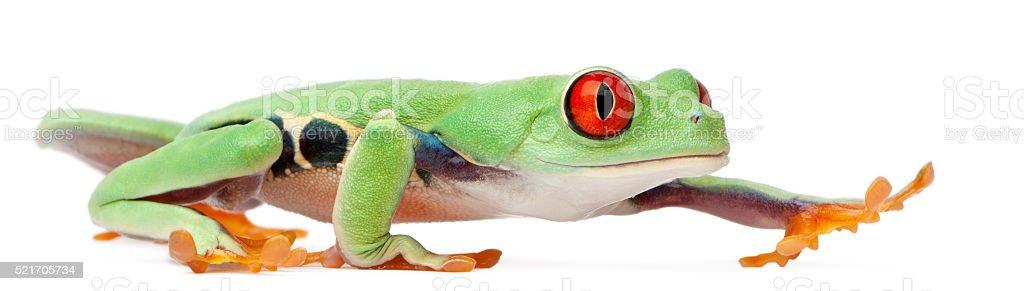Red-eyed Treefrog, Agalychnis callidryas, walking in front of white background stock photo