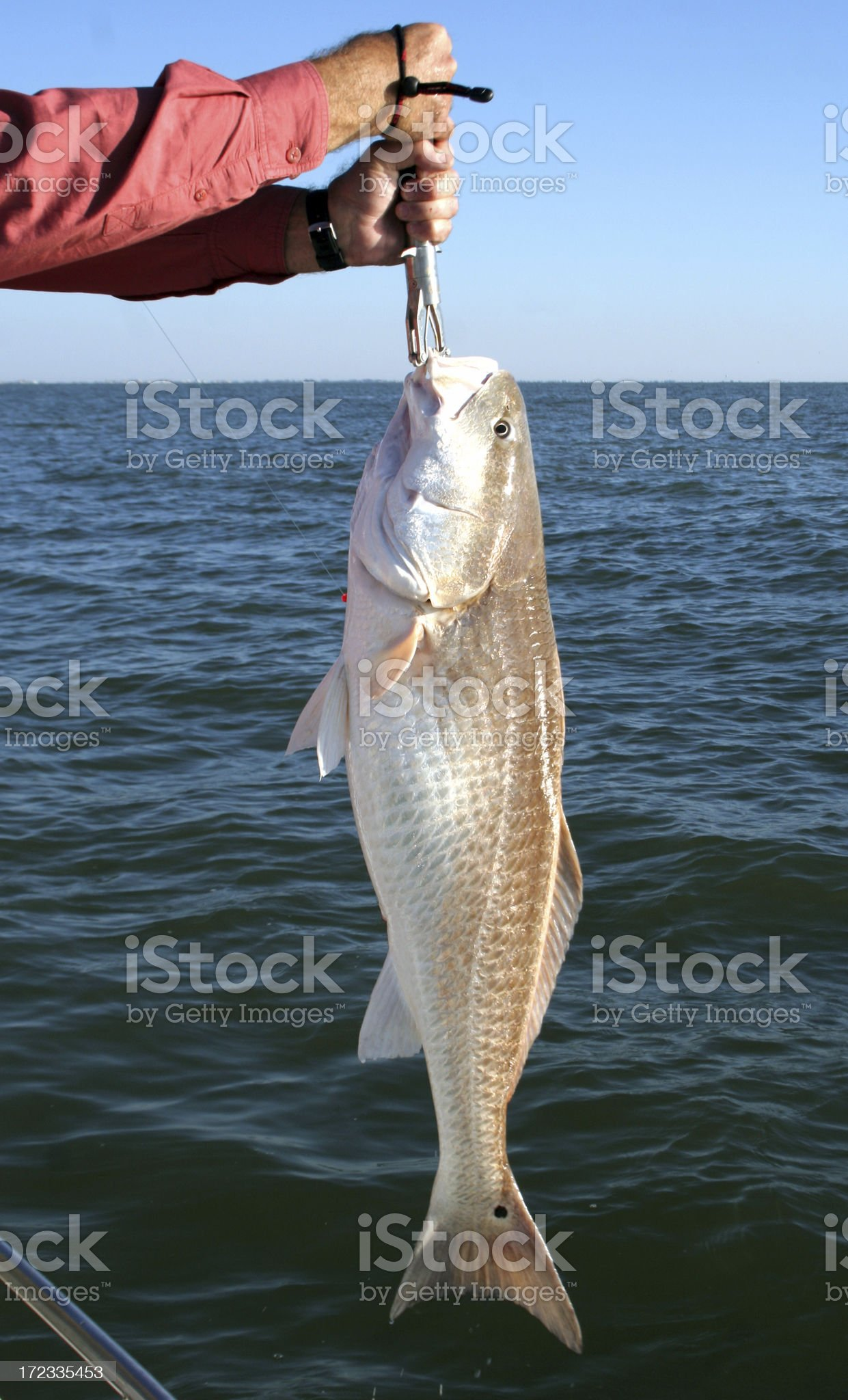Redfish - Bull Red Against Blue Water royalty-free stock photo