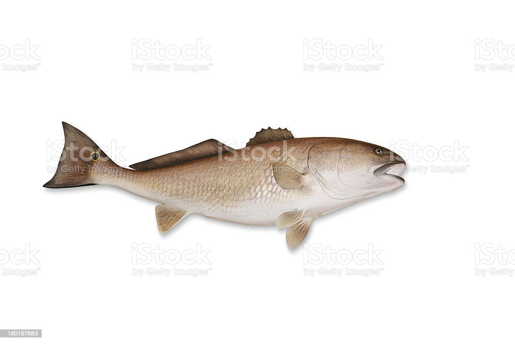 Redfish with Clipping Path royalty-free stock photo