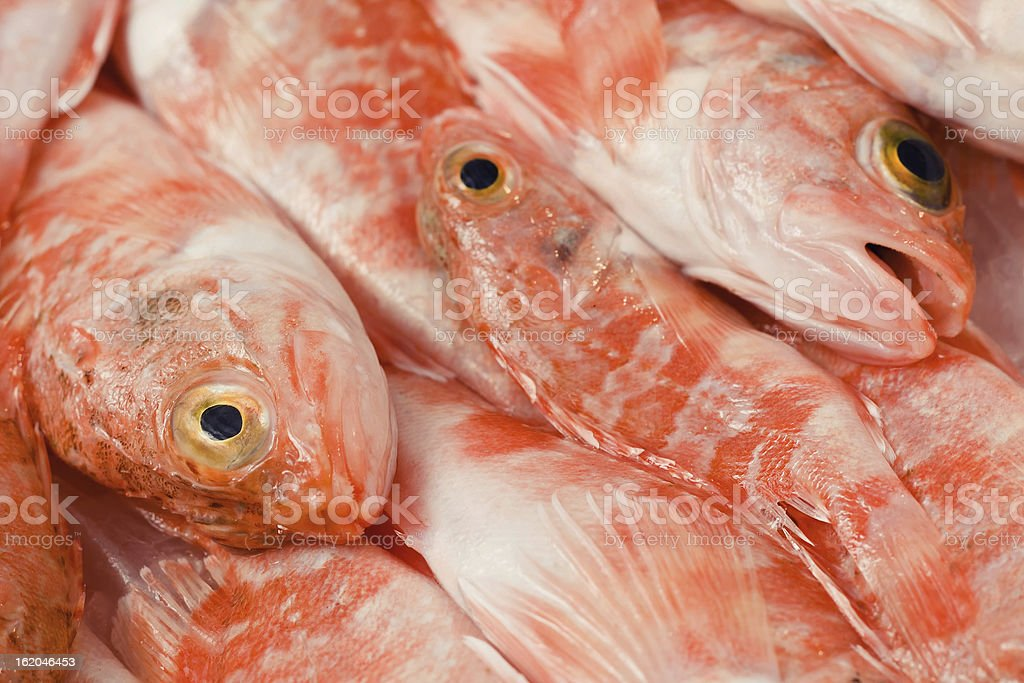 Redfishes royalty-free stock photo
