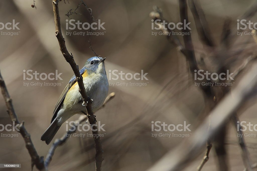 Red-flanked bluetail royalty-free stock photo