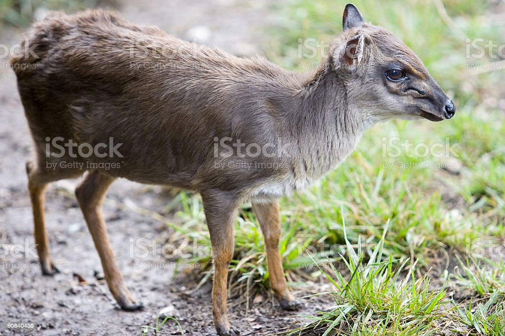 Red-Flanked Duiker royalty-free stock photo