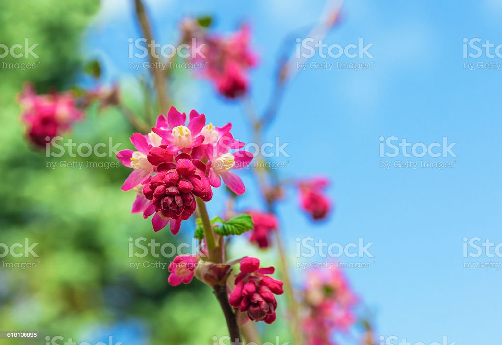 Red-Flowering Currant Blooming Against a Blue Sky stock photo