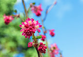 Red-Flowering Currant Blooming Against a Blue Sky