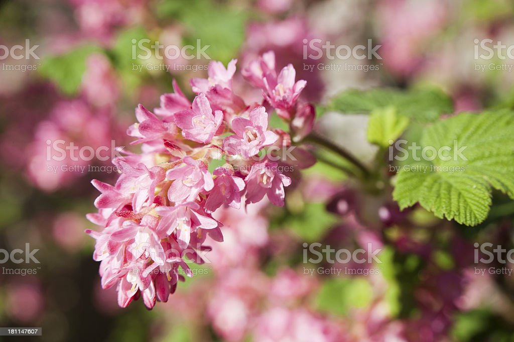 red-flowering currant ( Ribes sanguineum ) stock photo